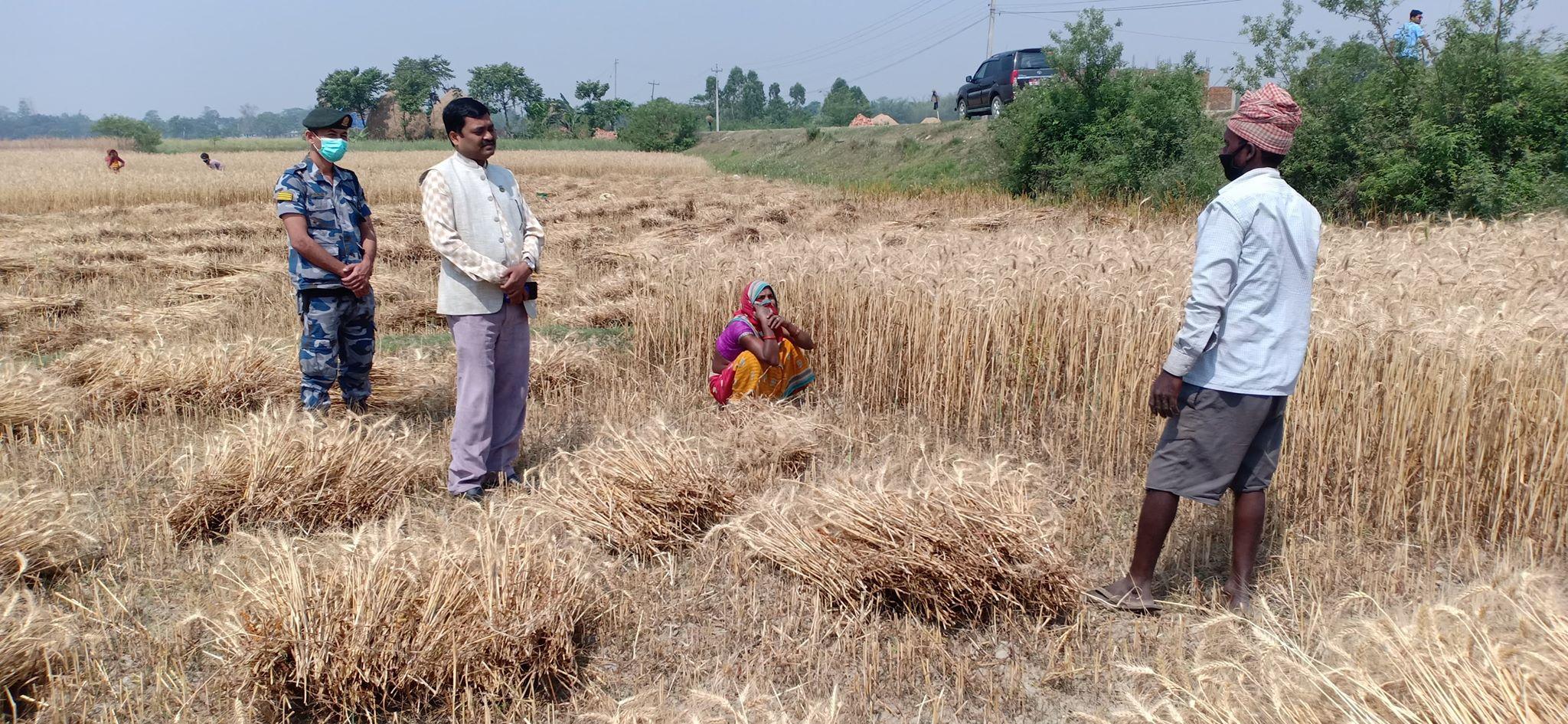 दूरी कायम राख्दै गहुँ भित्र्याउन कृषि मन्त्रीको सुझाव